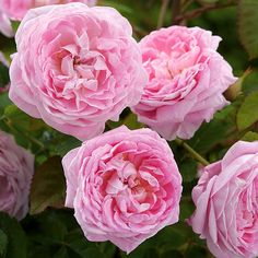 'Queen Anne' English Rose - Beautiful New Roses for 2013 - Size: To 3-1/2 feet tall and 3 feet wide, Zones: 5-9