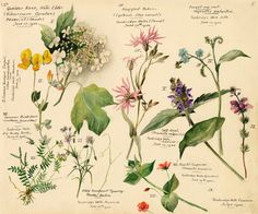 Wildflower composite, Snelling, Lilian (1879-1972) (Artist). Nature, journal, sketchbook, notebook, dairy, words and images, drawing.