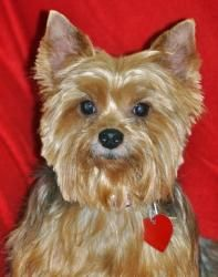 Sadie (& Scooby) is an adoptable Yorkshire Terrier Yorkie Dog in Jacksonville, FL. Please contact papillonmom@gmail.com for more information about this pet.   **** WE DO NOT ALLOW ON-SITE ADOPTIONS **...