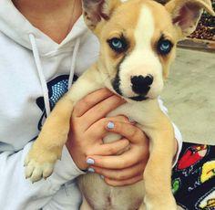 Boxer husky mix. (Siberpoo Husky Mix) Baby Puppies, Cute Puppies, Cute Dogs, Dogs And Puppies, Animals And Pets, Funny Animals, Cute Animals, Puppy Dog Eyes, Dog Cat