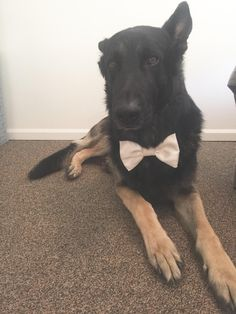 My sister's gentle giant German Shepherd wears a bow tie everywhere because it makes people less intimidated and afraid of him.