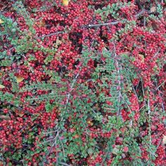 COTONEASTER horizontalis Plants, Red Berries, Shrub, Green, Plant, Planting, Planets