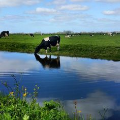Yesterday on my bicycletrip I passed this cow drinking water nearby the tiny village of Wadway about 40 miles north of Amsterdam. #nofilter #clouds #dutch #landscape #dutchlandscape #typicaldutch #madeinholland #reflection #igreflection #waterreflection #netherlands #holland #cow #drinkingwater #grassland #waterland #countryside #countrylife #wadway #wadwaywiekenthetniet by martin_tekstbeeld