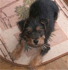 ♥D♥ 697 YORKIE RUSSELL (JACK RUSSELL TERRIER & YORKSHIRE TERRIER)