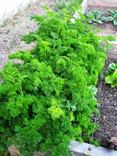 I heart herbs, and my kitchen herb garden Herb Garden In Kitchen, Home And Garden, Thyme Plant, Parsley, Weed, Spice, Herbs, Plants, Image