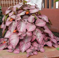 Full size picture of Episcia, Flame Violet 'Strawberry Patch' (<i>Episcia</i>)