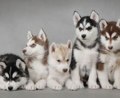 husky puppies, so cute.