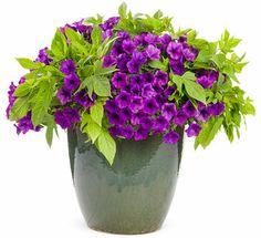 Filler Supertunia® Indigo Charm 2015 Petunia hybrid Qty:2 Spiller 'Sweet Caroline Light Green' Sweet Potato Vine Ipomoea batatas Qty:2