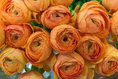 Orange Ranunculus Cloni Mambo Extra at New Covent Garden Flower Market January 2017 Ranunculus, Peonies, Dahlias, Angel Protection, New Covent Garden Market, Flower Market, Begonia, Love Flowers, January