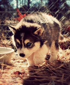 huskey puppy this is the future dog that I want