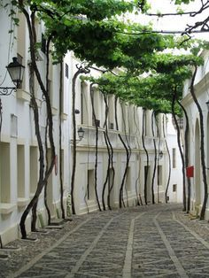 You'll find this incredible street in Jerez, Spain. The tree trucks are pruned and pinned back against the walls, which lets a canopy of branches form over the lane. The city of Jerez exports of sherry worldwide and this street is part of a winery.