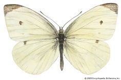 white butterfly | insect | Britannica.com