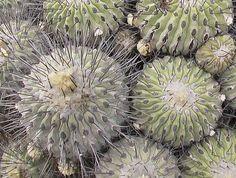 Copiapoa dealbata [Family: Cactaceae[