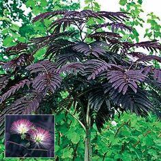 Summer Chocolate Silk Tree