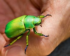 Habitat: North America; Texas and New Mexico Status: Not Listed The Shining Leaf Chafer (Chrysina woodi) is a species of..