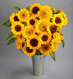Helianthus annuus 'Vincent®' Sunflower from Sakata Ornamentals