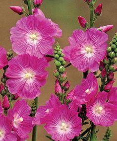 Sidalcea malviflora Malvaceae 'Purpetta' - Silkekatost/vild stokrose, farve: magenta, lysforhold: sol, højde: 100 cm, blomstring: juli - september, god til bier og andre insekter.