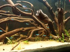 South American Biotope} | Page 5 | AquaScaping World Forum