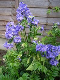 Jacob's Ladder - Polmonium. Flowers May to July.