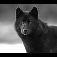 """""""A wolf called Romeo""""  from the book by author Nick Jans"""