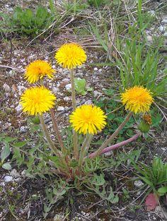 mnoupovedane.com: Aprílové bylinky - Púpava lekárska