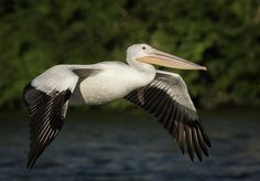 The American White Pelican is a large amazing bird i love to watch and photograph. I am not an expert but the lack of coloration and the way the bird looks tells me this is probably a juvenile Pelican.