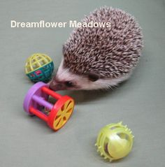 Toys with holes or slits in them should never be left inside the hedgehog's cage or anytime the hedgehog is not directly being supervised by an adult. Description from dreamflowermeadows.com. I searched for this on bing.com/images