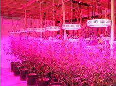 Les applications d'élèvent la lumière LED et des perles de lampe LED dans l'horticulture