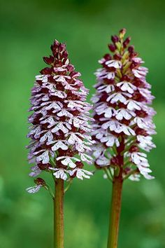 Britain's wild flowers: Lady Orchid
