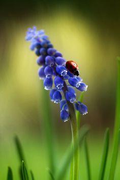 Hyacinth. Lily Among Thorns
