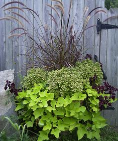 I want to grow sweet potato vine.
