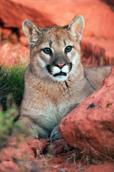 Young cougar in southwest Utah's redrock country. Photo courtesy of the Utah Division of Wildlife Resources