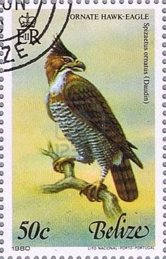 Belize Ornate Hawk-Eagle