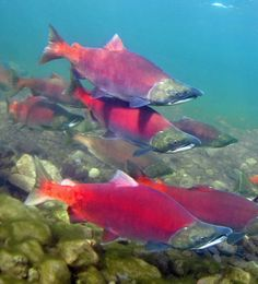 Stunning underwater trout photography, from rainbow and brook trout to brown trout, steelhead, and sockeye, featuring native habitats and rare species. Going Fishing, Best Fishing, Fishing Tips, Fishing Lures, Fly Fishing, Alaska Salmon Fishing, Kenai River, Salmon Eggs, King Salmon