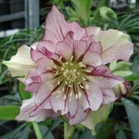 helleborus seeds Winter Rose flower grow in Winter rare flower seeds outdoor plant for home garden Rare Flowers, Exotic Flowers, Beautiful Flowers, Shade Perennials, Shade Plants, Clematis, Growing Flowers, Planting Flowers, Lenten Rose