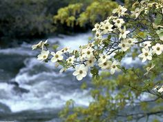 dogwood | Nature Wallpapers, Dogwood Tree Blooms Wallpaper. (1024x768) 209 Kb.