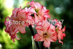 Flower bulbs shocking pink 2bulbs amaryllis seeds sementes de flores amaryllis bulbs case e jardim garden Home &garden + gift