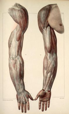Inspirational Artworks: ANATOMY IMAGES  arms muscles anterior, posterior