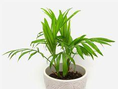 Bambuszpálma – gondozása, kártevői, virágzása, igényei Sempervivum, Light And Space, Low Lights, Houseplants, Seasons, Canning, Nature, Handle, Spaces