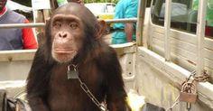 Una buena iniciativa de una asociación animalista para que la Unesco declare Patrimonio Vivo de la Humanidad a los chimpancés, gorilas, orangutanes y bonobos; tres especies de homínidos que hoy están en vías de extinción aunque son hermanos evolutivos de los hombres. La idea consiste en considerarlos como personas y toma entre sus principales antecedentes el reciente fallo de la justicia argentina que declaró a la orangutana Sandra persona no humana.