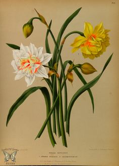 Narcissus Double : Double Daffodil