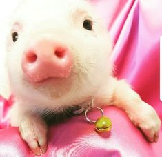 Cute Piglets, Small Pigs, Mini Pigs, Pet Pigs, This Little Piggy, Cute Friends, Cute Funny Animals, Westies, Future Baby