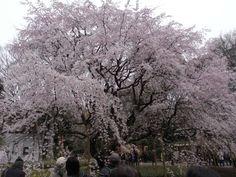 Cherry tree at Rikugien   © Katsutoshi Seki/WikiCommons