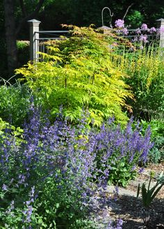 Three Dogs in a Garden: Pretty Views of Ellen Carr's Garden, Elderberry, Sambucus racemosa 'Lemony Lace', deciduous, blooms on old wood