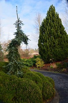 The garden includes a variety of companion plants such as Japanese maples, Daphnes, heathers and heaths. Silverton Oregon, Oregon Garden, Willamette Valley, Japanese Maple, Companion Planting, Garden Trees, Pacific Northwest, Horticulture, North West