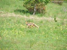 Fox near Balvanyos Bath, Transylvania Mountaineering, Wild Life, Trekking, Kangaroo, Fox, Hiking, Bath, Adventure, Stone