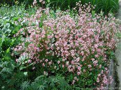 Skuggbräcka, Saxifraga umbrosa 'Clarence Elliott', 20 cm hög, vintergrönt bladverk i rosetter, rosa blom juni-juli
