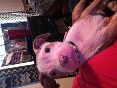My loving 3 month old Pitbull puppy