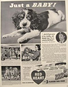 I say this all the time, He's just a baby! (Right now he's a little over 1yr)  1941 Red Heart Dog Food Ad ~ Springer Spaniel Puppy