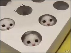 ACG • KITTEN GIF • 3 funny white Kitties playing whack a Kitten cuter than whak a mole